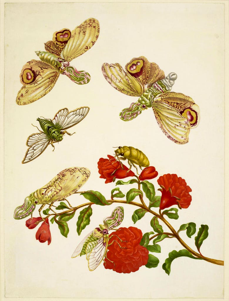 Branch of Pomegranate with Lantern Fly and Cicada (1701), Maria Merian.