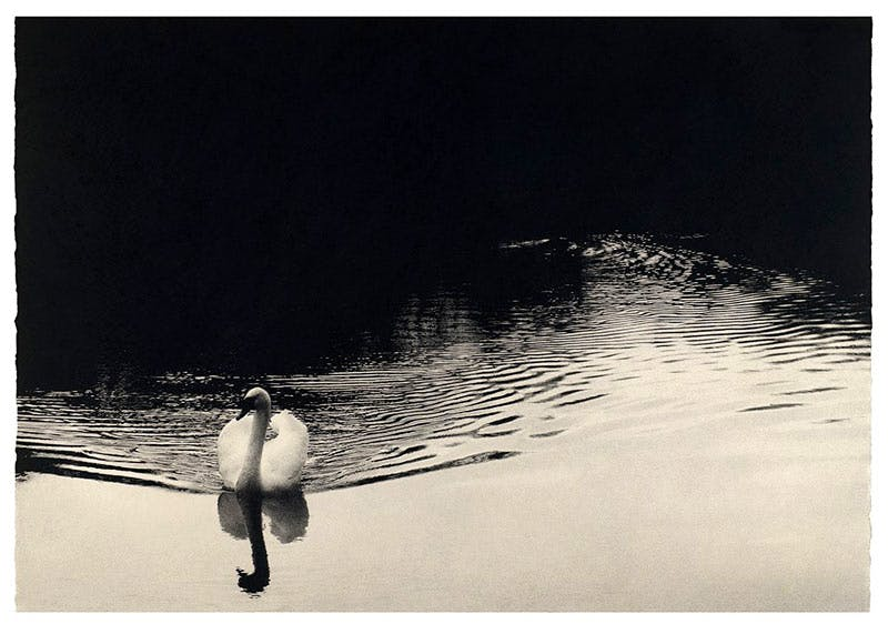 Swan, by Sarah Gillespie.