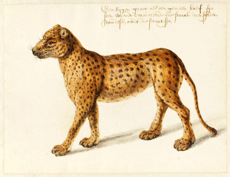 Jaguar (n.d.), Frans Post. Noord-Hollands Archief, Haarlem. Apollo magazine