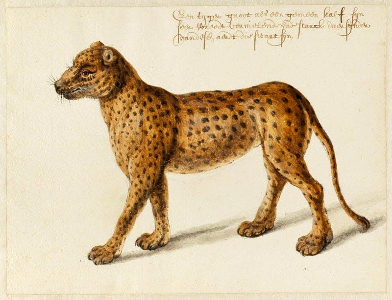 Jaguar (n.d.), Frans Post. Noord-Hollands Archief, Haarlem. Apollo magazine