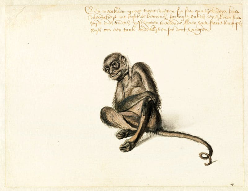 Spider Monkey (n.d.), Frans Post. Noord-Hollands Archief, Haarlem. Apollo magazine.