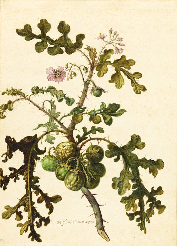 Study of a Sticky Nightshade or Litchi tomato (Solanum sisymbriifolium) (1683), Herman Saftleven. Photo: Cecilia Heisser/Nationalmuseum