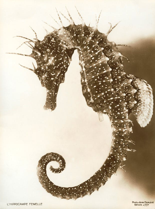 Female Seahorse (1936), Jean Painlevé. © Archives Jean Painlevé, Paris