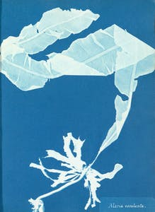 Photographs of British Algae Cyanotype Impressions