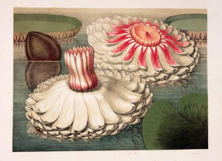 Intermediate Stages of Blooming (from Victoria regia; 1854), John Fisk Allen. The Huntington Library, Art Collections and Botanical Gardens