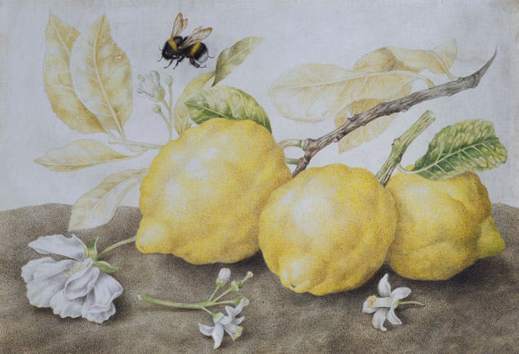 Still Life with Lemons (late 1640s), Giovanna Garzoni. Galerie Sanct Lucas