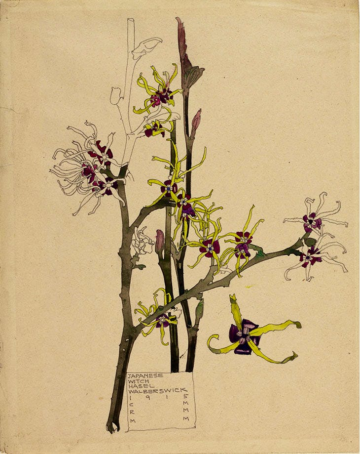 Japanese Witch-Hazel, Charles Rennie Mackintosh
