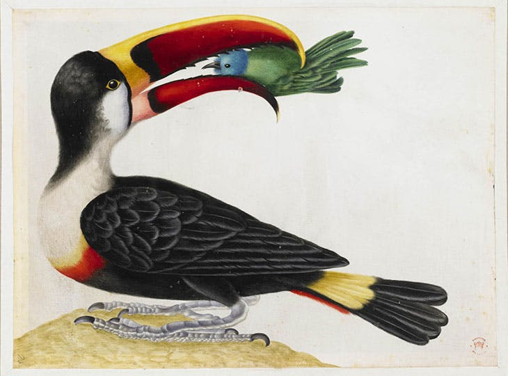 Untitled (Toucan) From an album entitled 'Merian's Drawings of Surinam Insects &c' (c. 1701–05), Maria Sibylla Merian.
