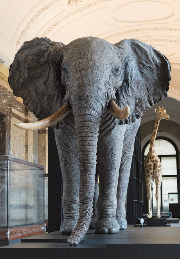 A mounted and elephant and giraffe in the 'Landscapes and Biodiversity' gallery, Photo: Jo Van de Vyner; © RMCA Tervuren