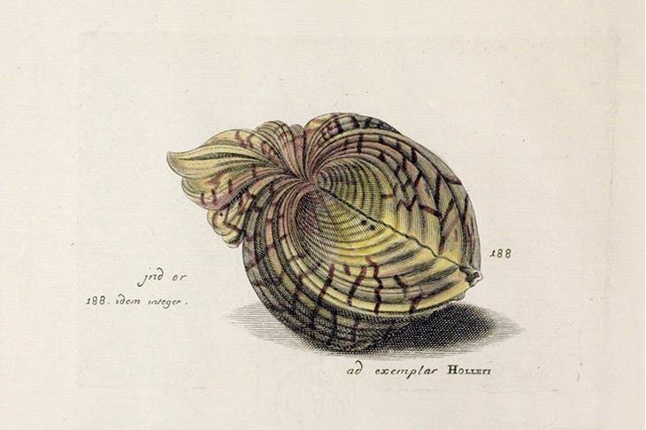 The Lister sisters' handcoloured engraving of a bear paw clam, after Wenceslaus Hollar, published in the 'Historiae Conchyliorum' (1685-92).
