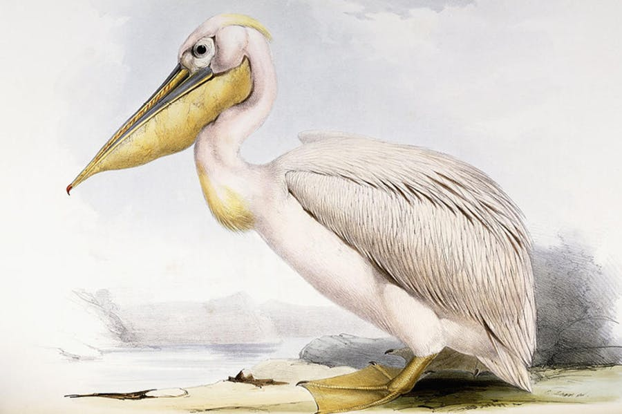 Great White Pelican (Pelecanus onocrotalus), by Edward Lear, from 'The Birds of Europe', by John Gould.