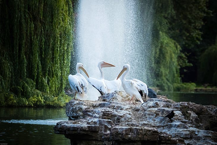 The three existing pelicans on Pelican Rock in the middle of St James's Park, London. Photo: Paula Redmond; courtesy The Royal Parks