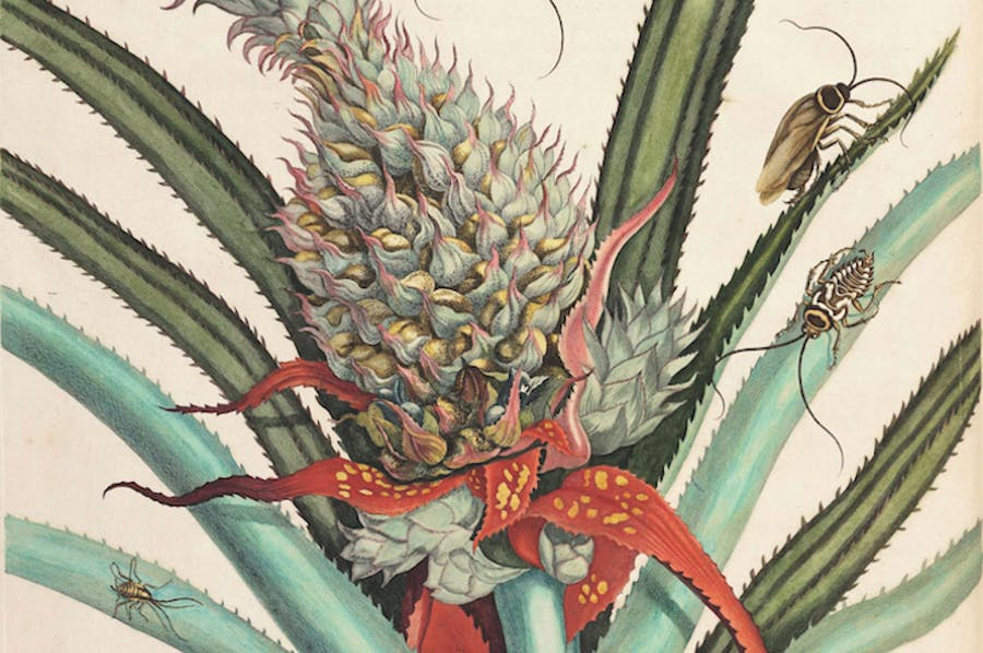 On the reproduction and the miraculous transformations of the insects in Suriname (detail; 1719), Maria Sibylla Merian.