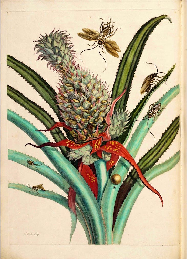 On the reproduction and the miraculous transformations of the insects in Suriname (1719), Maria Sibylla Merian.