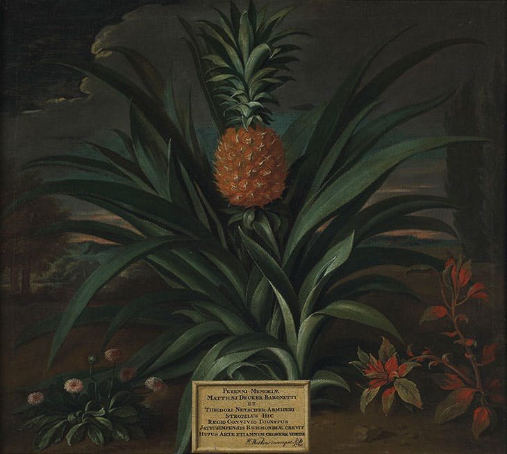 Pineapple grown in Sir Matthew Decker's garden at Richmond, Surrey (1720), Theodorus Netscher.