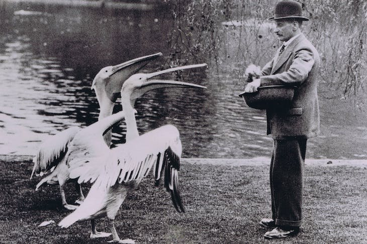 A man feeding pelicans in 1936.