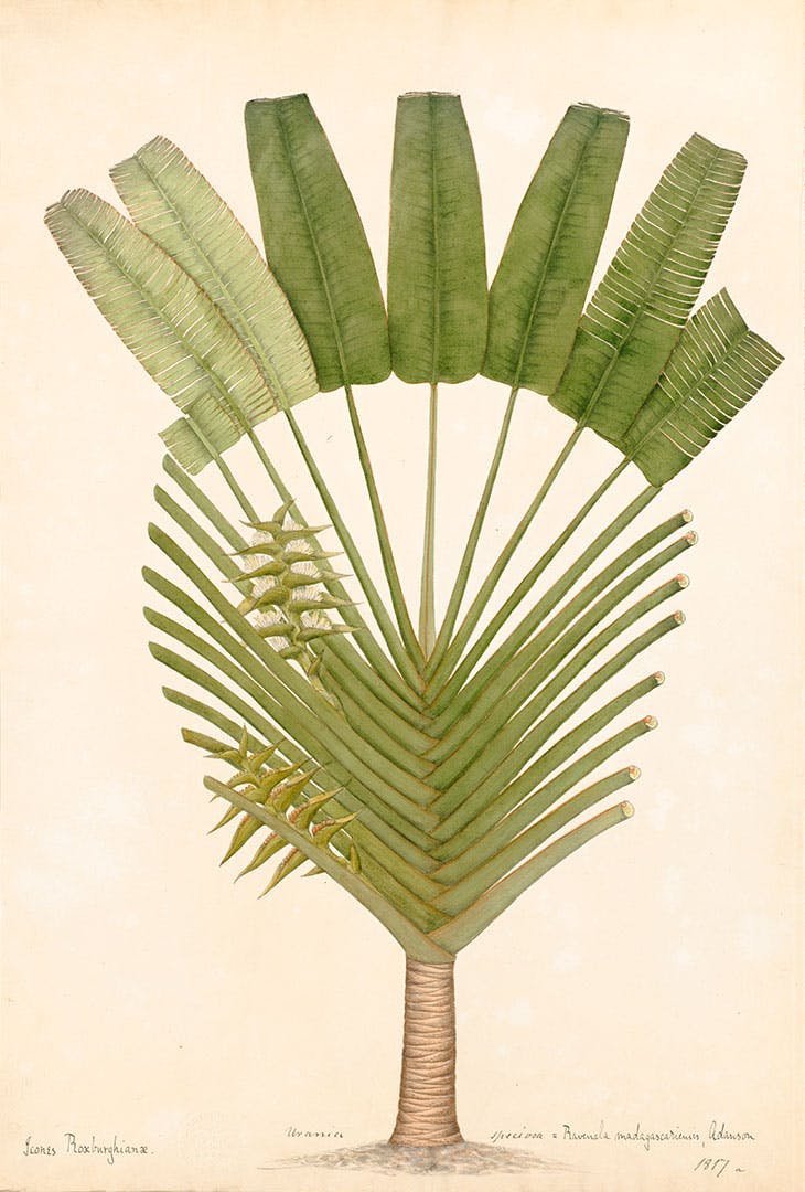Traveller's Palm (c. 1807), attributed to Vishnupersaud.
