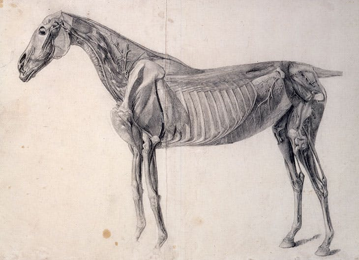 Finished study for The Fourth Anatomical Table of the Muscles of the Horse: the deeper muscles exposed and the head considerably dissected (1756–58), George Stubbs.