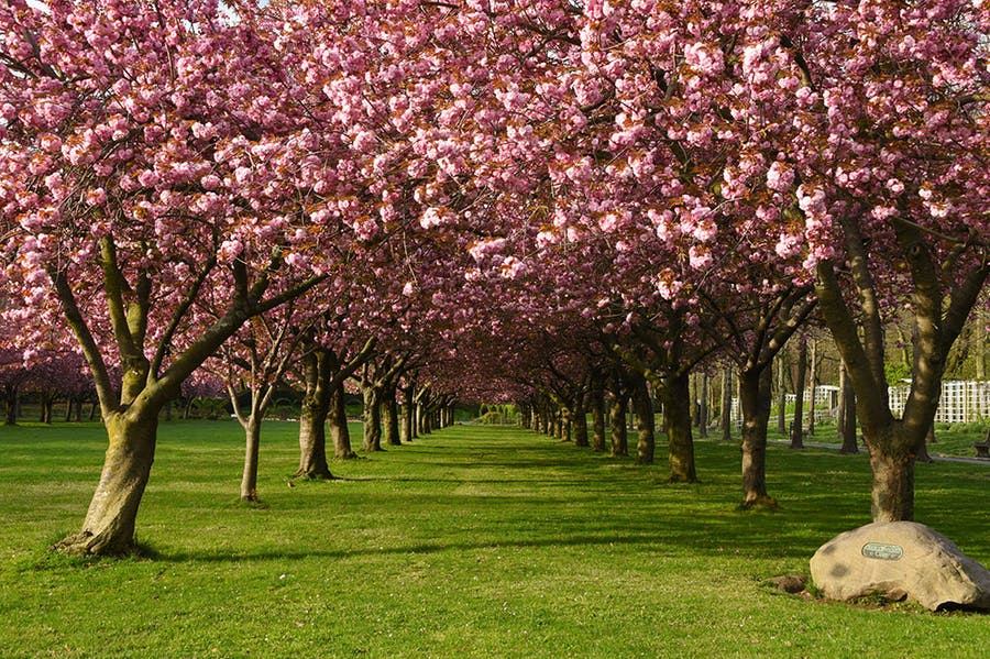 Prunus 'Kanzan' (flowering cherry cultivar) on Cherry Esplanade.