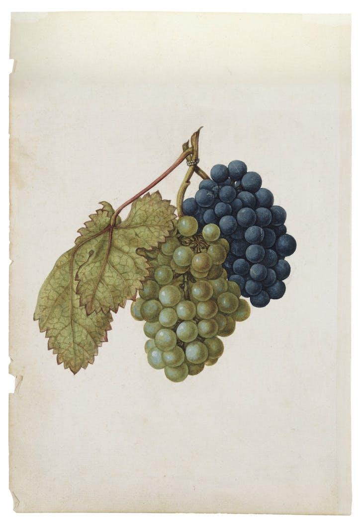 Black Grapes & White Grapes (c. 1575), Jacques Le Moyne de Morgues.