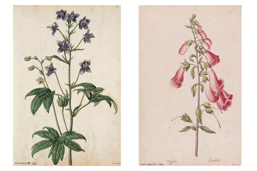 Pages 54 ('Stavesacre') and 25 ('Foxglove') in Jacques le Moyne de Morgues' florilegium at the V&A (painted c. 1575)