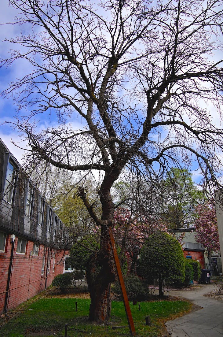 The Bethnal Green mulberry tree.