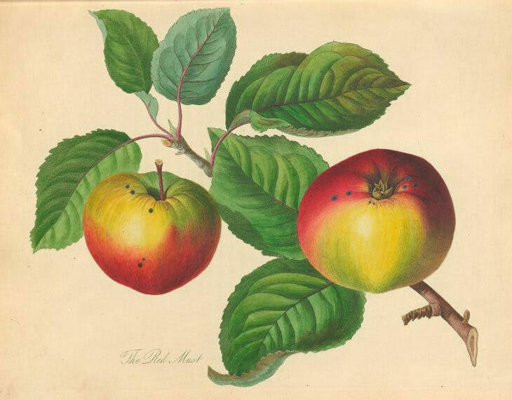 'The Red Must', plate 4 in Thomas Andrew Knight's Pomona Herefordiensis (1811). Cornell University Library, Ithaca