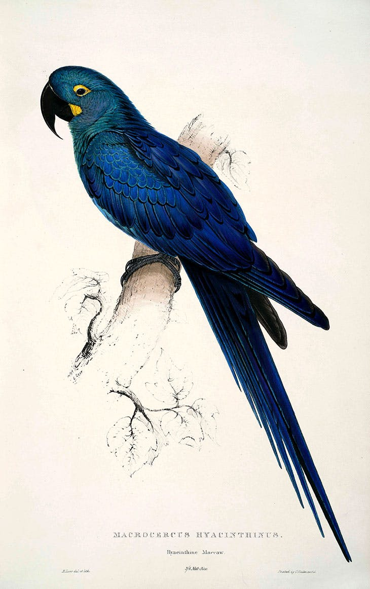 A feather in his cap: a plate from Edward Lear's first publication, Illustrations of the Family of Psittacidae, or Parrots, published in 1832
