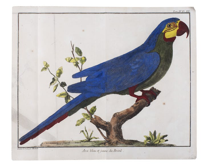 Plate 20 from Ornithologie, Volume 1 (1760), illustration by Mathurin-Jacques Brisson.