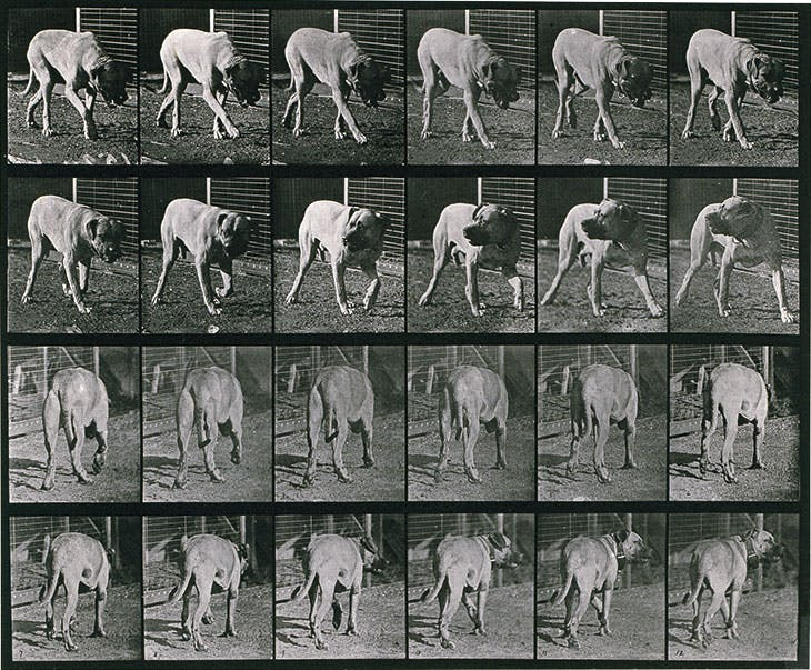Dog; walking; interrupted, mastiff Dread from Animal Locomotion. An Electro-Photographic Investigation of Consecutive Phases of Animal Movements (1872–1885), Eadweard Muybridge. Royal Academy of Arts, London.