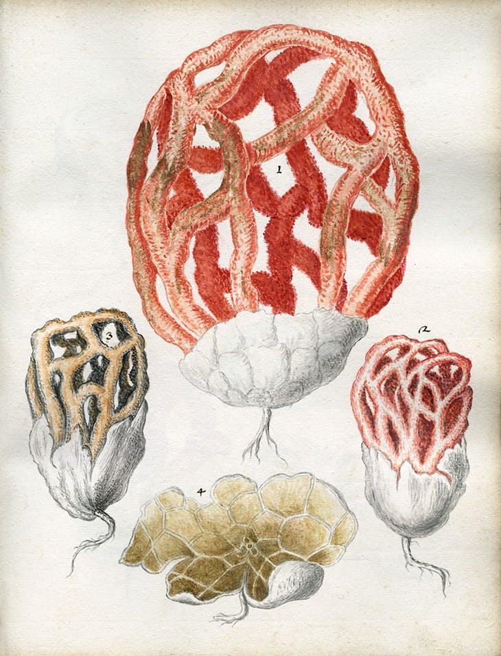 Basket stinkhorn (Clathrus ruber) from Bruno Tozzi's Sylva fungorum (1724). Sherardian Library of Plant Taxonomy
